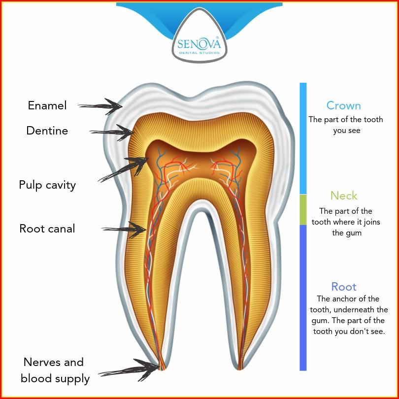 Dental Diagram Of Human Teeth