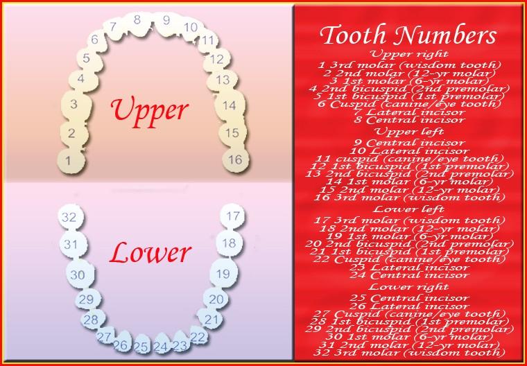 Diagram Human Teeth Numbering Charts