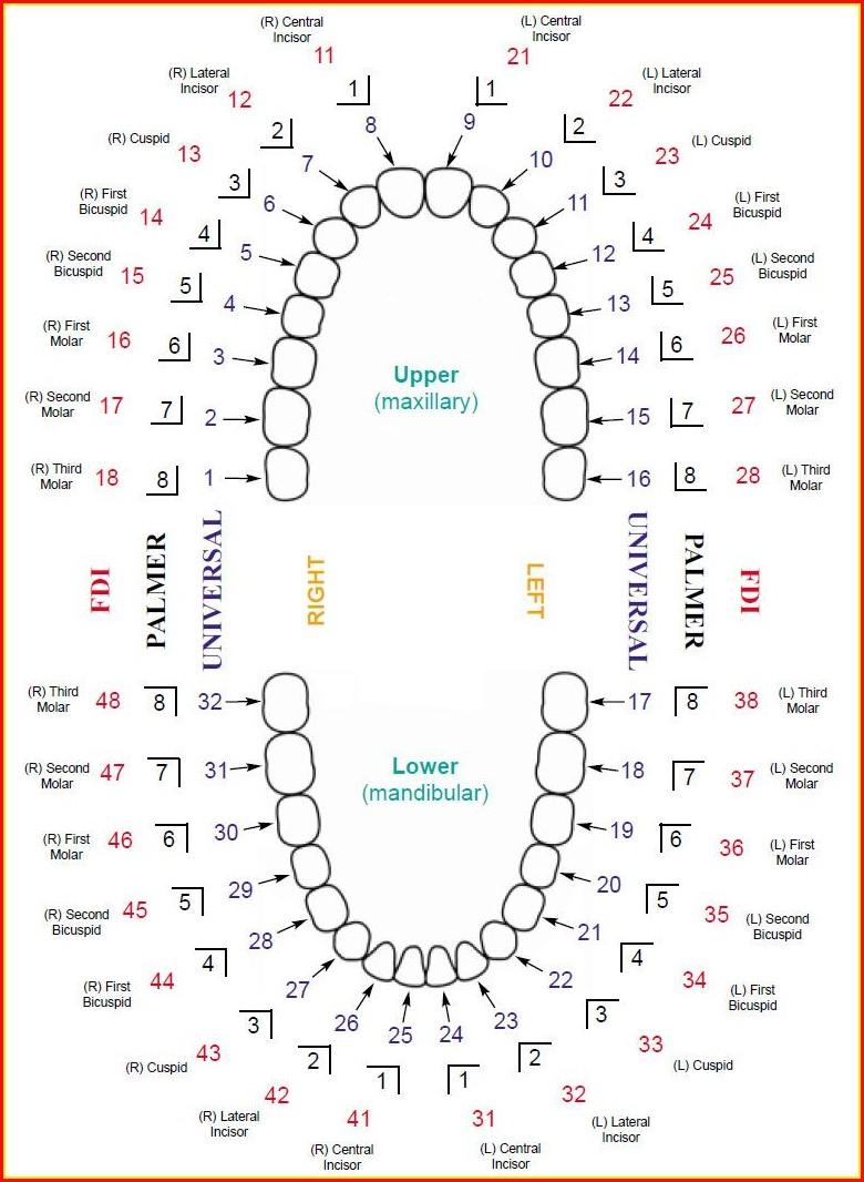 Diagram Of Human Teeth Numbering Charts