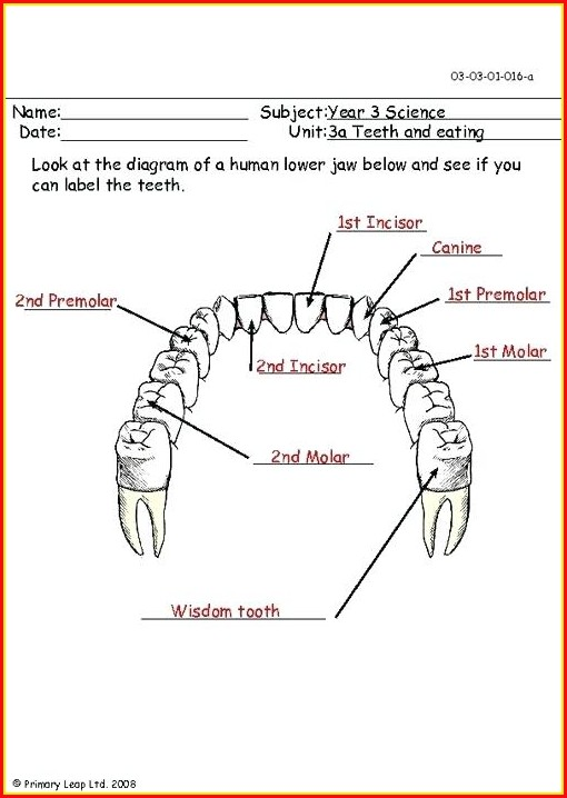 Diagram Of Human Teeth With Label