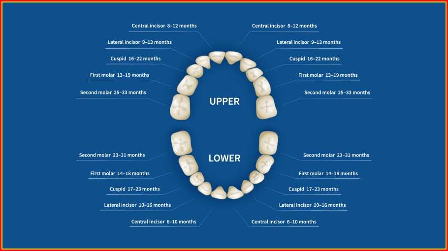 Human Teeth Names Diagram
