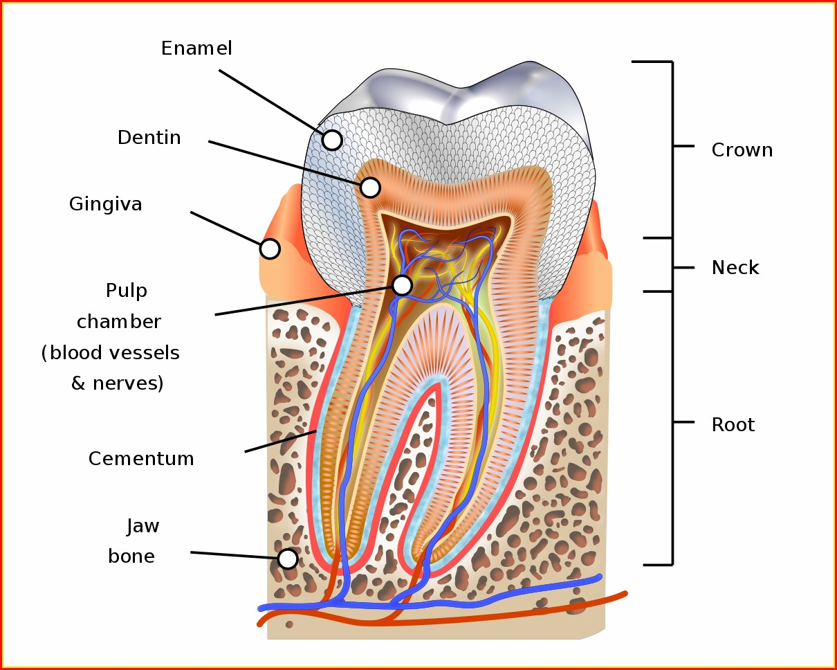 The Human Teeth Diagram
